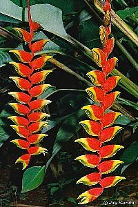 Heliconia rostrata, Bananeira-do-brejo, Bananeira-ornamental, Caetê, Papagaio