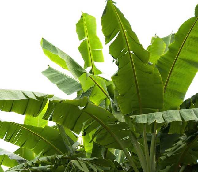 bananier culture arrosage et