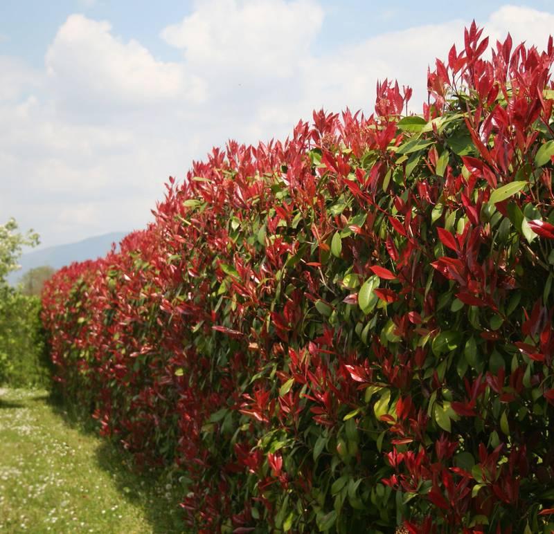 photinia plantation taille et