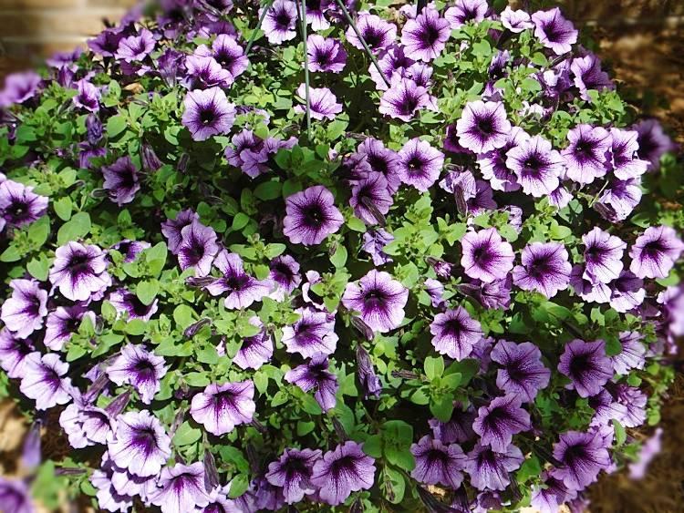 9 plantes retombantes pour balcon et