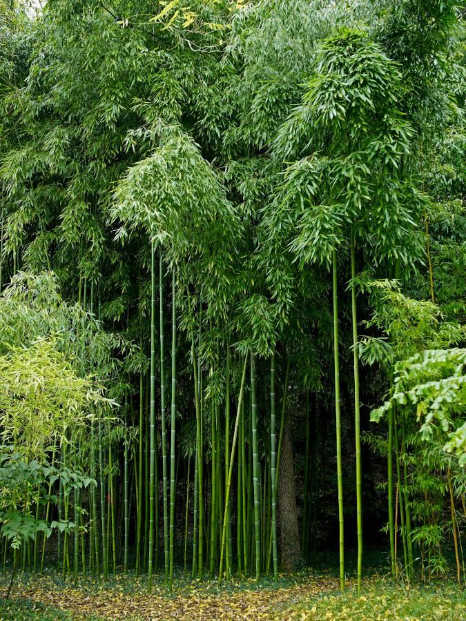 bambou geant culture plantation et