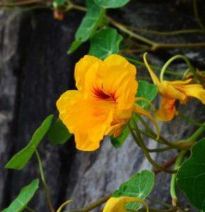 Capucine fleurs