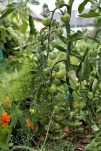 tomate cerise du jardin potager juillet permaculture