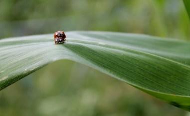 coccinelle maïs auxiliaires août