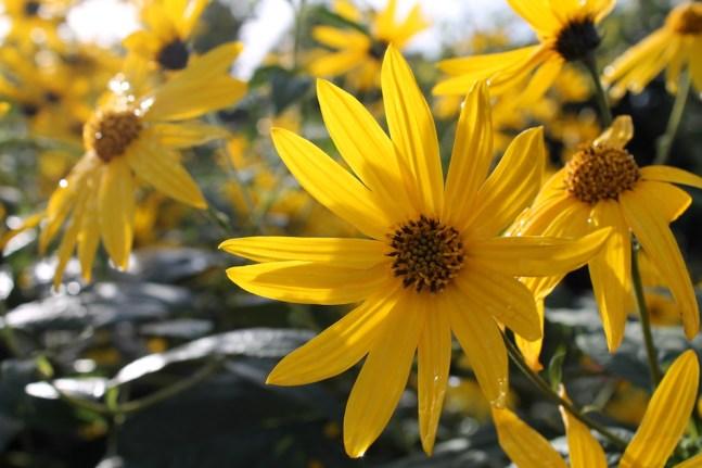 topinambour en fleur octobre