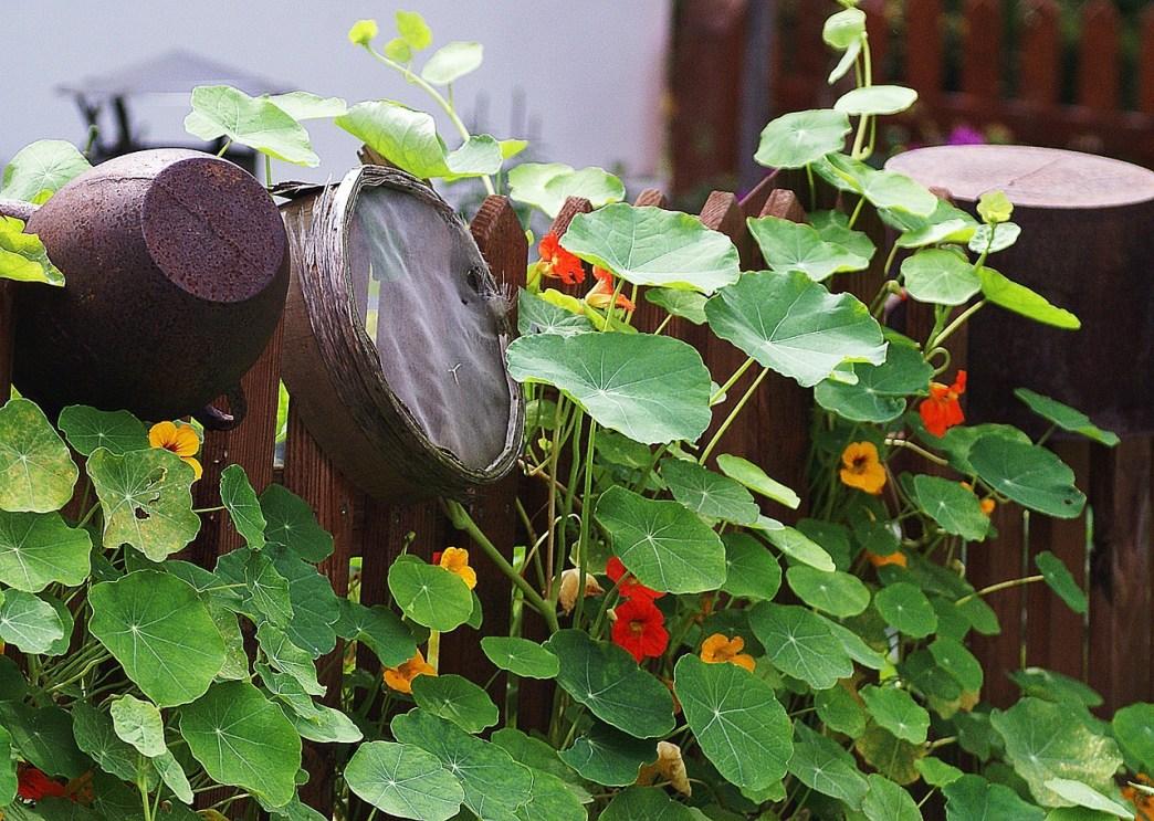 plants de capucine sur une clôture