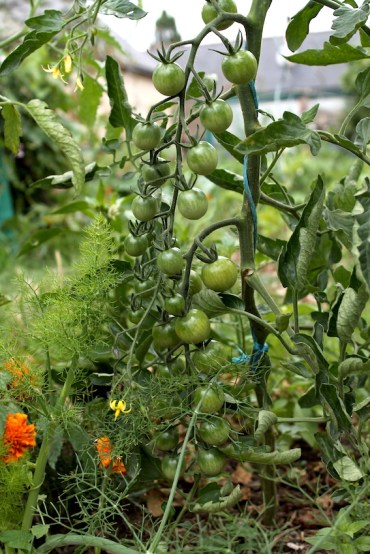 Association entre un plant de tomate cerise et un plant d'oeillet d'Inde