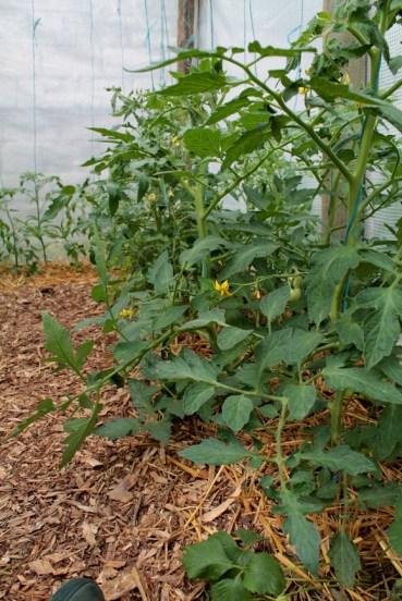 Tomates plantées en serre, avec un mulch composé de paille