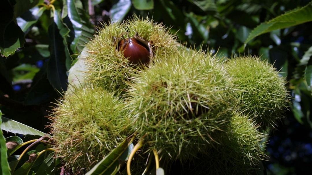 Chestnut cultivation is not complicated