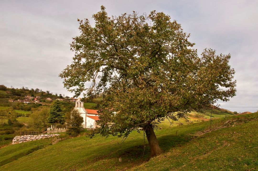 The chestnut is a tree that bears edible fruits