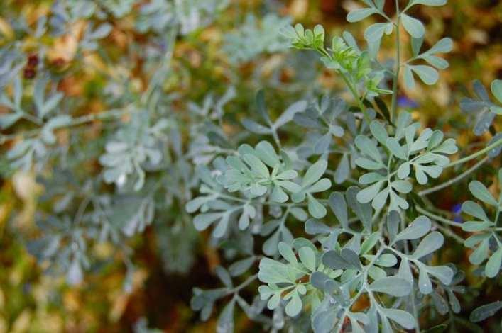 Ruda - Foto: Jardinería On