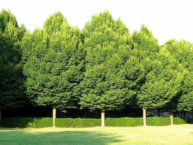 Abedul, el árbol medicinal más completo