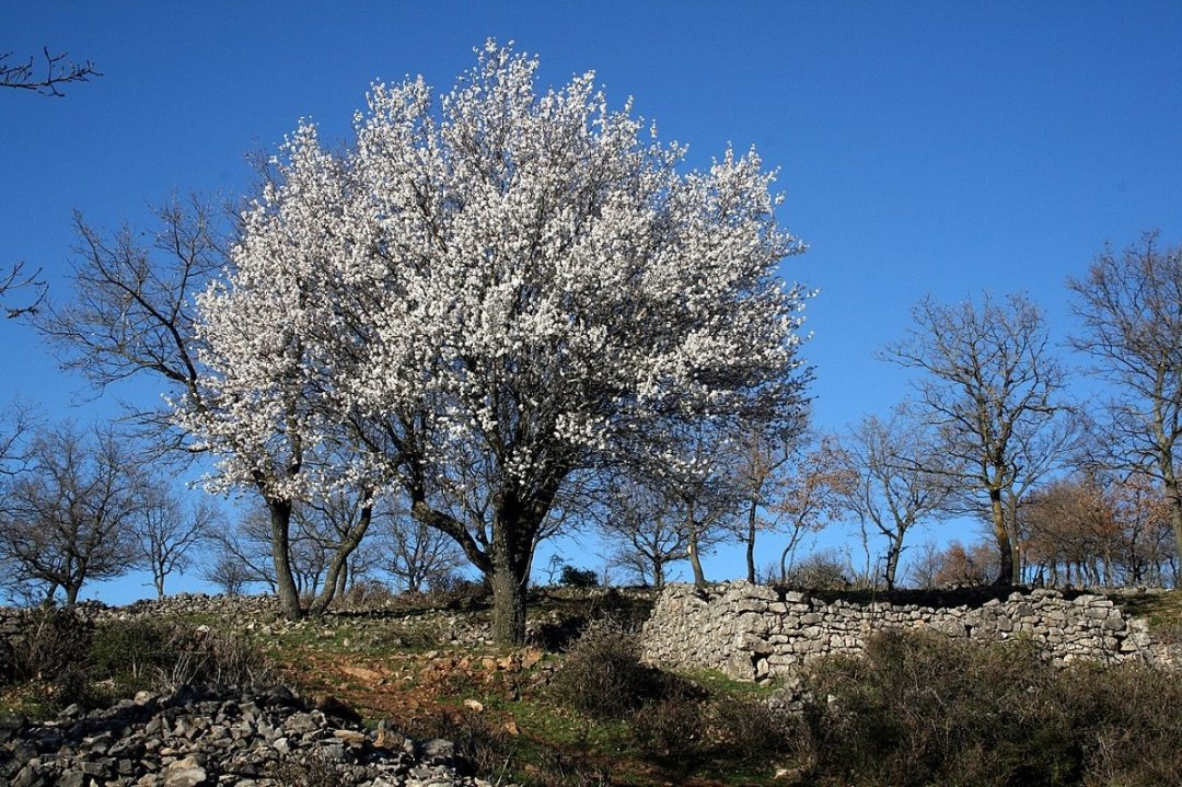formation of the almond tree