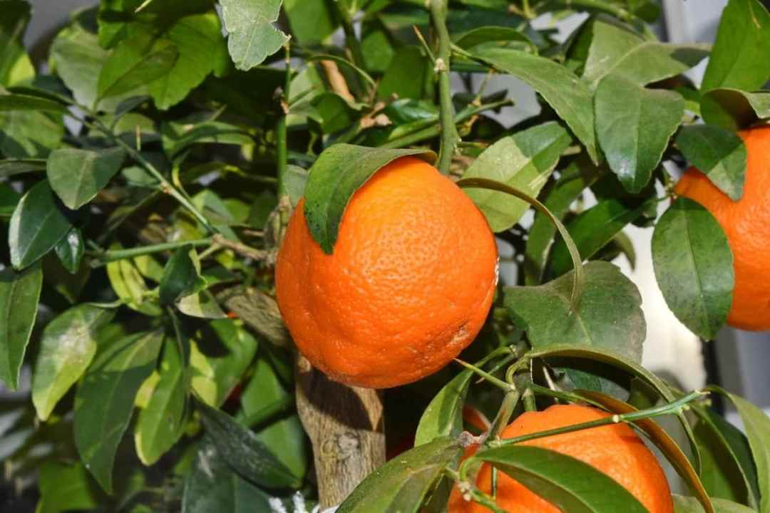 Mandarin is a small citrus