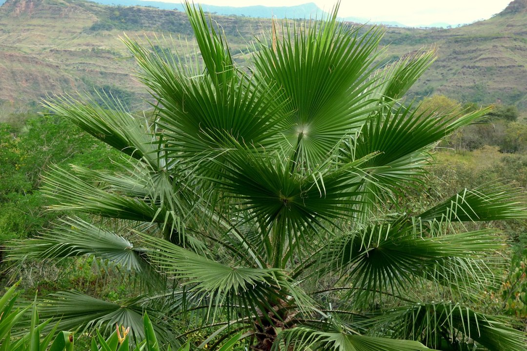 Washingtonia is a palm that resists drought