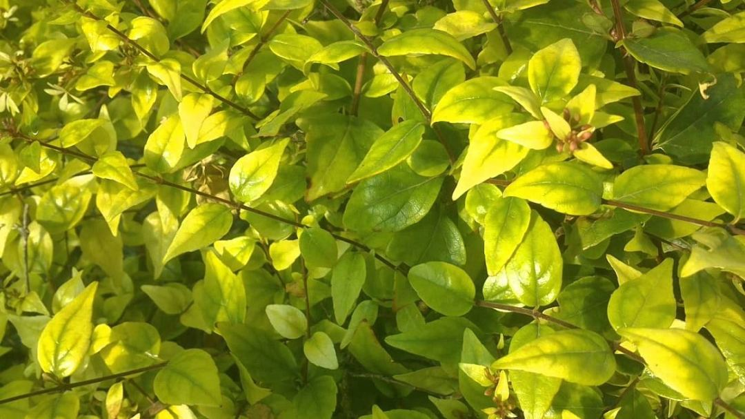 iron-deficient leaves