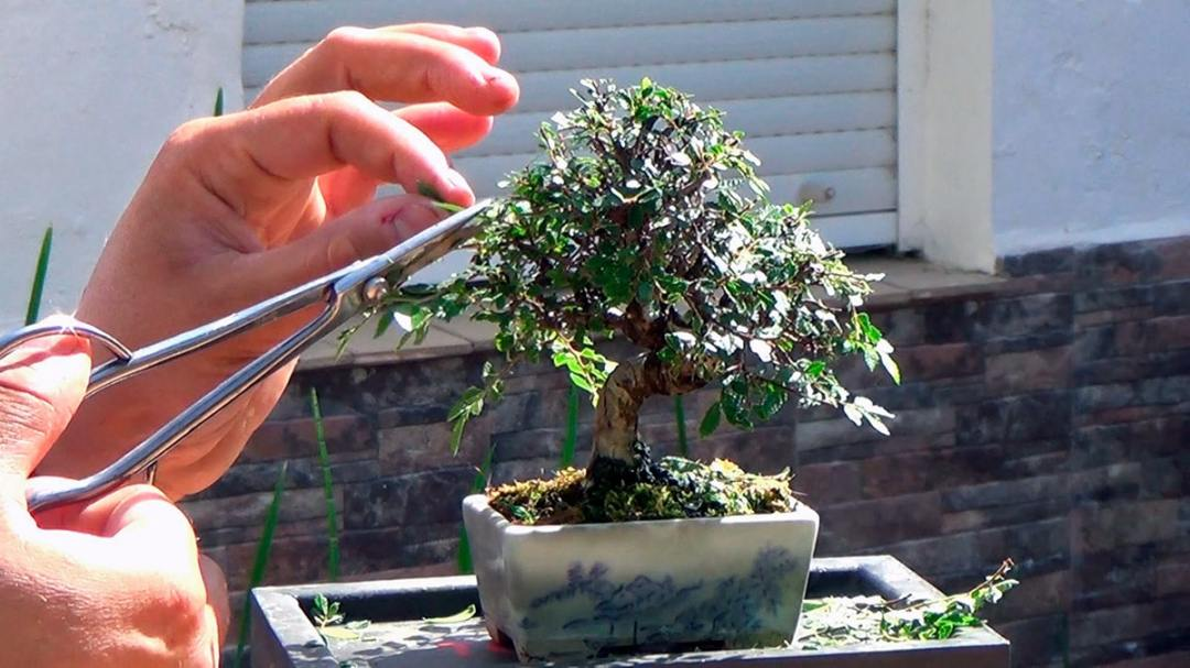 The clamping is done throughout the year to the bonsai