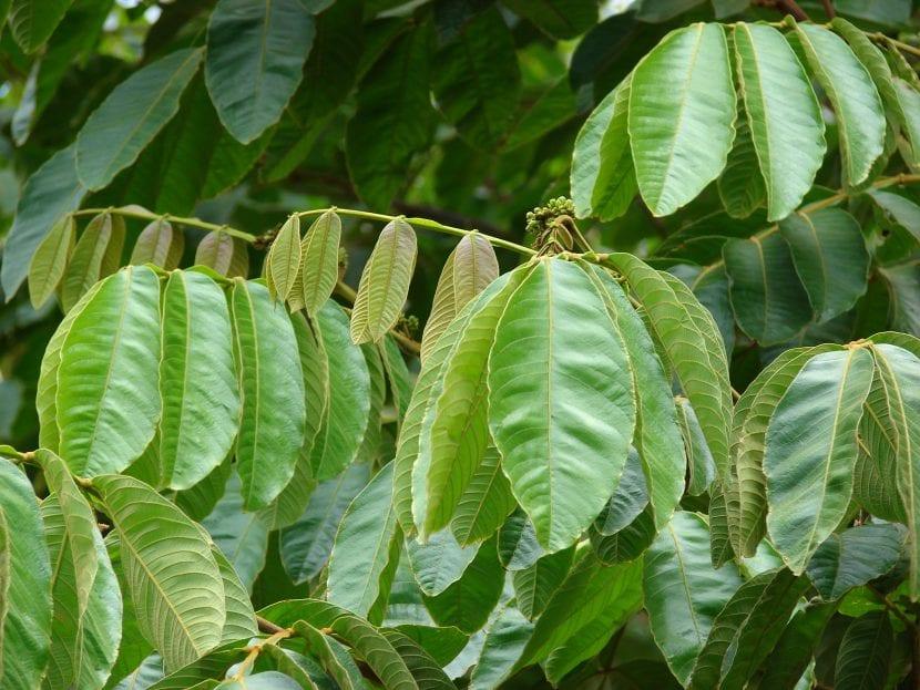 Pacay, un árbol comestible imponente | Jardineria On