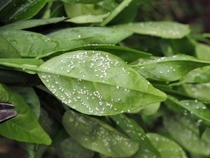 moscas blancas en hojas de algun arbol citrico
