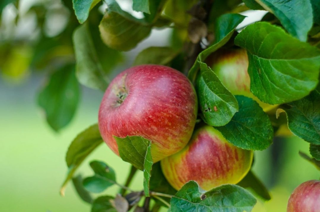 The apple tree produces edible fruits even in limestone soil