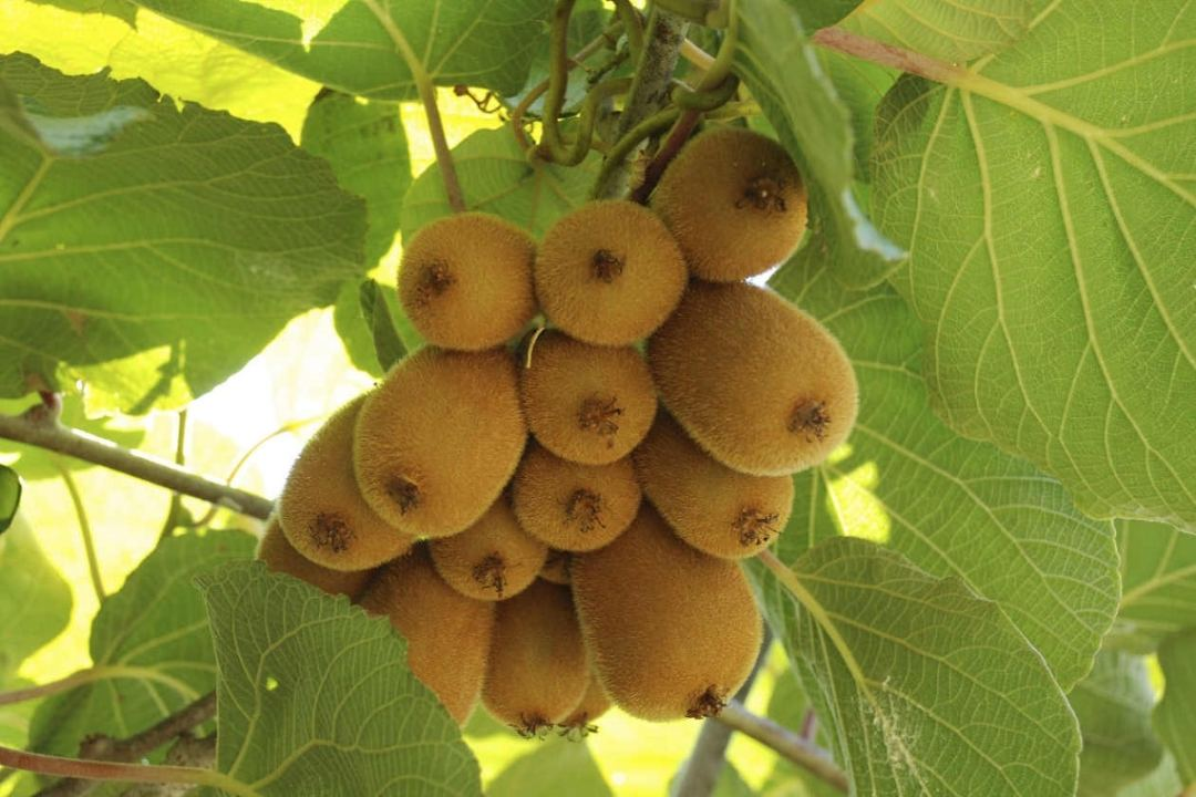 How to care for a kiwi plant in our home
