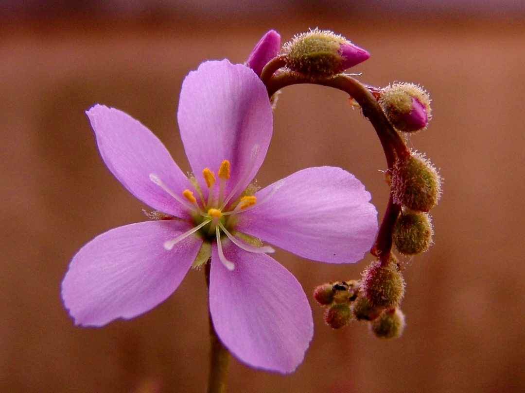 Sundews have flower stipes