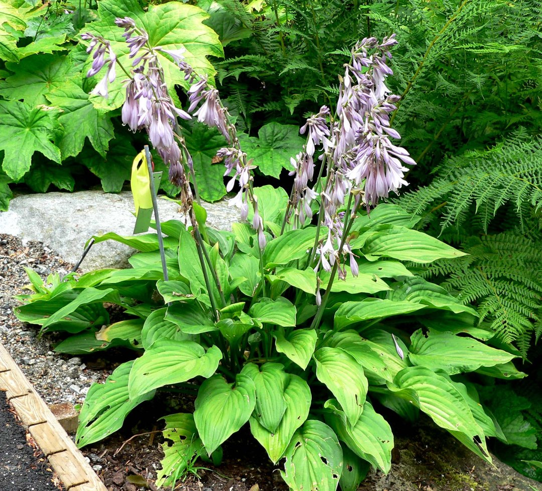 Hosta fortunei is a rhizomatous plant