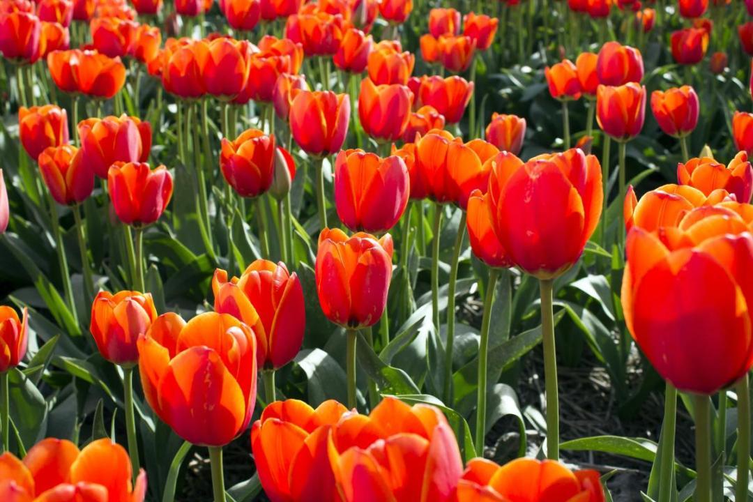 Tulips are bulbous plants that re