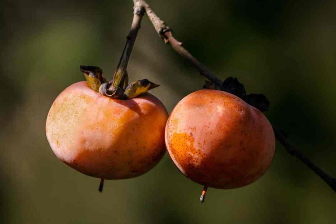 Persimmons are edible