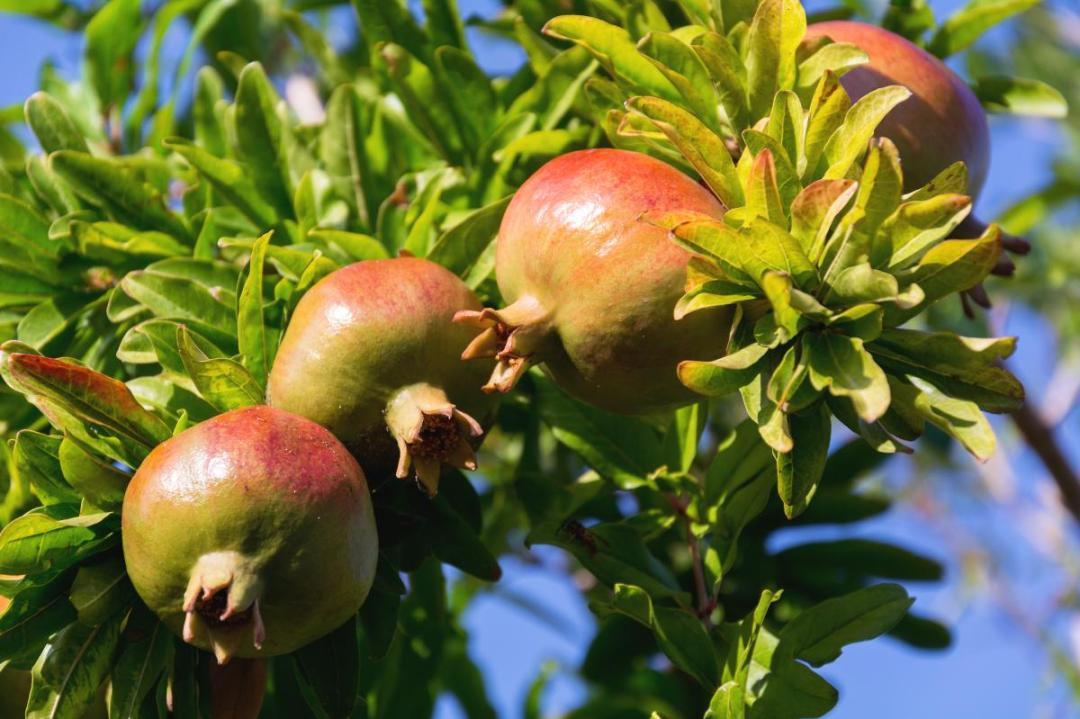 The pomegranate produces fruits in limestone soils