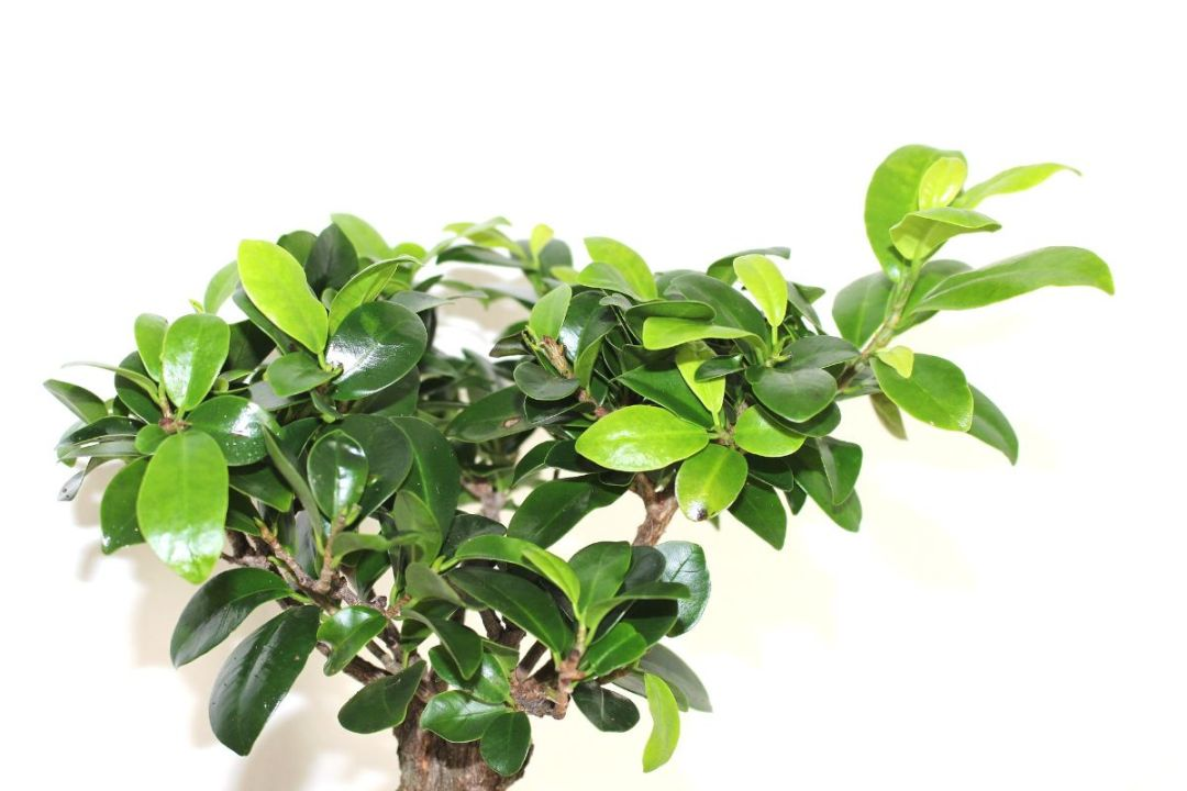 How and when to prune a Ficus ginseng bonsai?