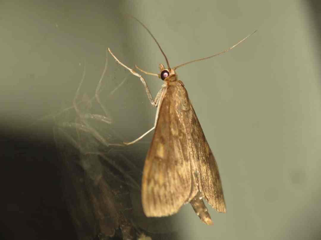 What is Ostrinia nubilalis