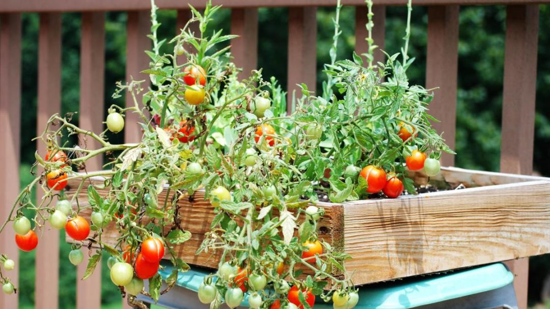 watering potted and cared tomatoes