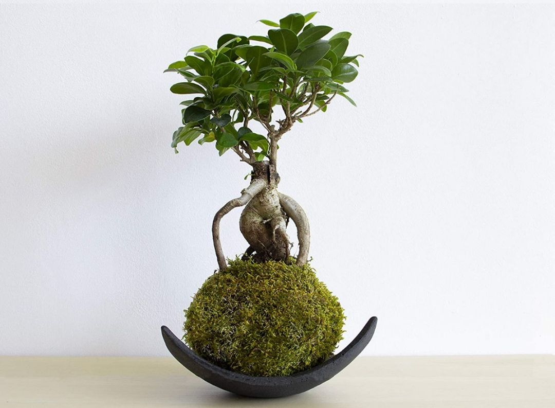 The best plants to make kokedamas