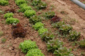 légumes bio salade