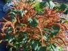 amaranthus-cruentus-autumn-pallet
