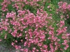 Diascia barberae \'Hot Pink\'