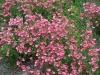 Diascia barberae \'Hot Pink\'