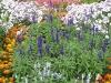 Salvia farinacea \'Rhea\'