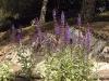 Salvia x superba