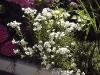Achillea ptarmica 'Boule de Neige'