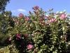 Hibiscus syriacus 'Mauve Queen'