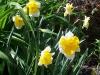 Narcissus 'Orangerie'