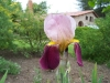 Iris 'Prince d'Orange'