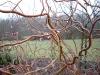 Salix 'Erythroflexuosa'