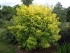 Sambucus racemosa 'Sutherland Gold'