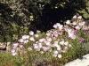 Oenothera speciosa 'Siskiyou Pink'