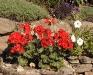 Pelargonium série Avanti rouge