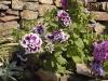 Petunia 'Fanfare'