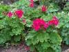 Pelargonium 'Horizon Violet'